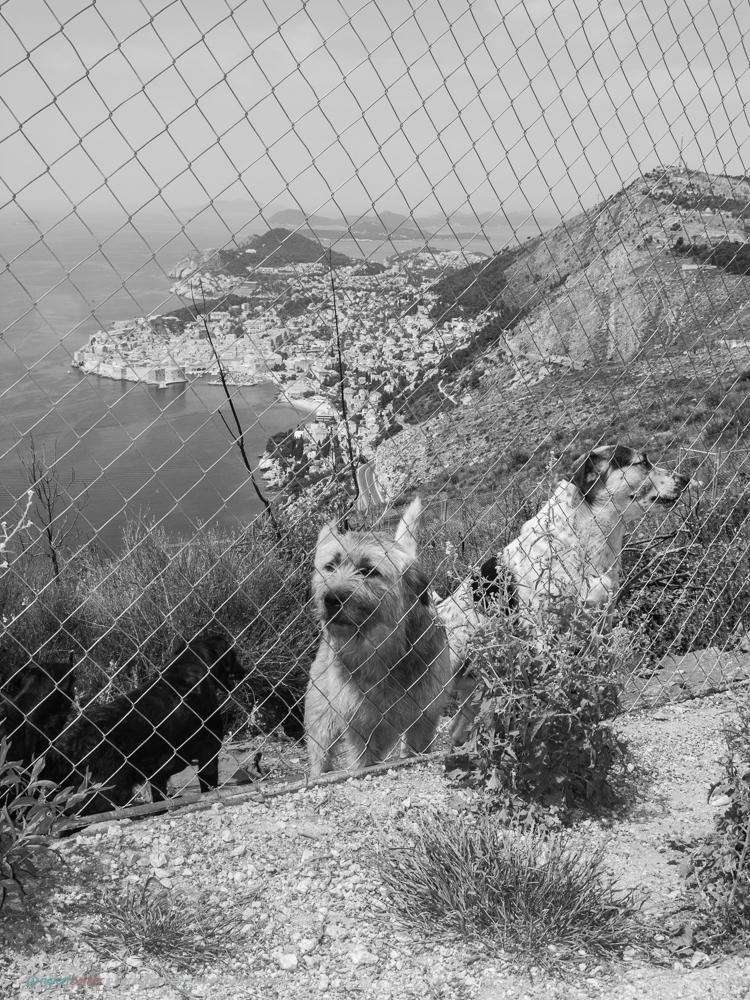 Dubrovnik_Dogs-2