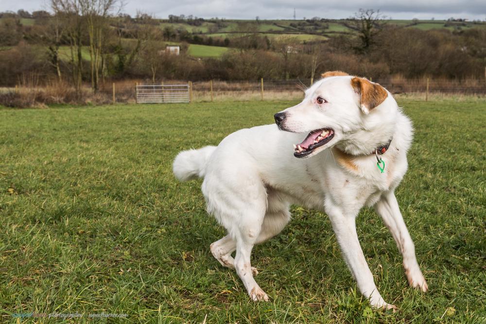 Indie the rescue dog near Bristol