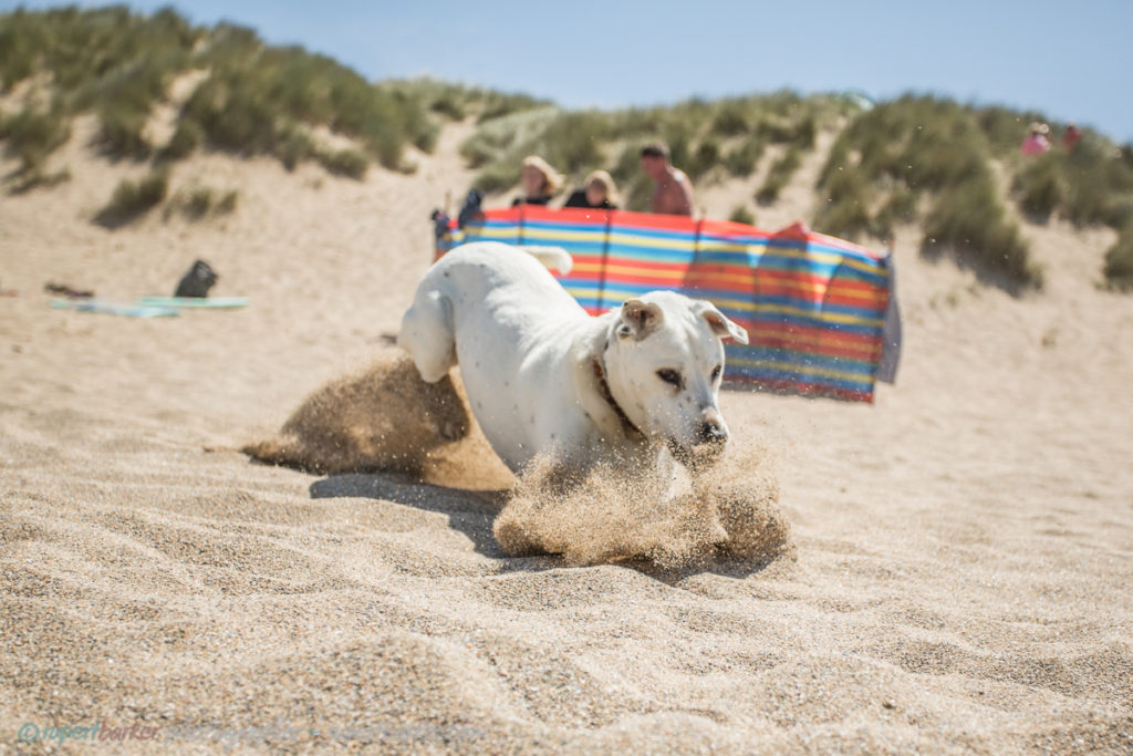 holywell sand dunes jumping dog